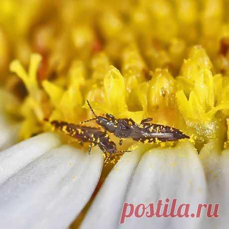 Как бороться с трипсами? — FloweryVale.ru