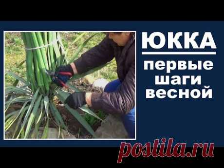 Care for Yucca in the spring, Do it now