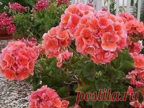ГЕРАНЬ НЕ ЦВЕТЕТ  Вроде и ухаживаем за ней хорошо, а она вытягивается и вместо шикарных букетов дает мелкие редкие цветы. Давайте поговорим какие благоприятные условия нужно создать и каких правил ухода придерживаться, чтобы цветение было долгим и обильным.    Опытные цветоводы знают несколько секретов для выращивания красиво цветущей герани.  Во первых, для посадки, необходимо сразу подобрать рыхлый, воздухопроницаемый субстрат, с обязательным добавлением песка. Слишком п...