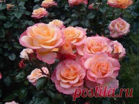 Моя любимая, дача в Instagram: «6 ошибок в выращивании роз на даче. ⠀ Многие дачники хотят высадить на клумбе садовые розы и любоваться ими весь сезон. Однако есть 6…»