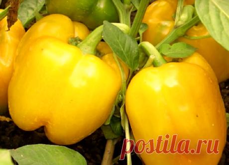 В какие дни февраля сеять цветы, перец, баклажаны и помидоры на растущую луну? | Огородные дела | Яндекс Дзен