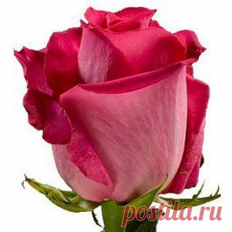 Topaz - Розы розовые - Розы