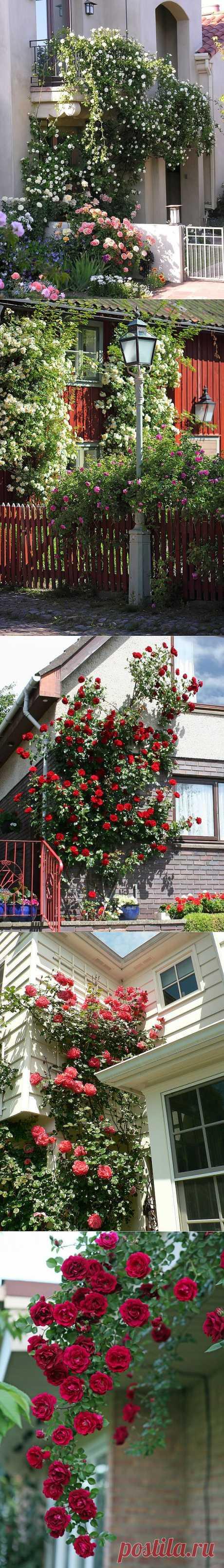 Вся роскошь вьющихся роз на службе красоты и уюта | Наш уютный дом