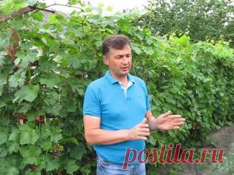 Обработка винограда в период созревания.