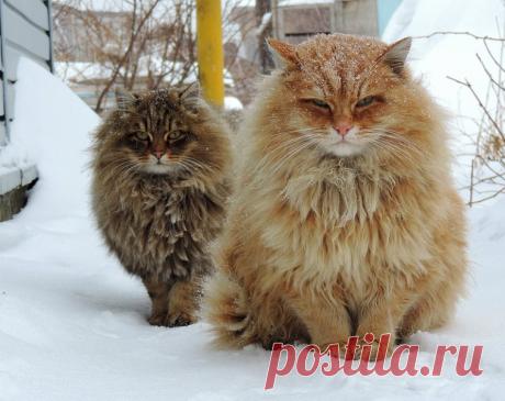 «Пушистые шары» из дремучей Сибири удивили иностранцев. Речь о морозостойких котиках