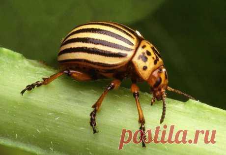 Колорадский жук: эффективные народные способы борьбы с вредителем