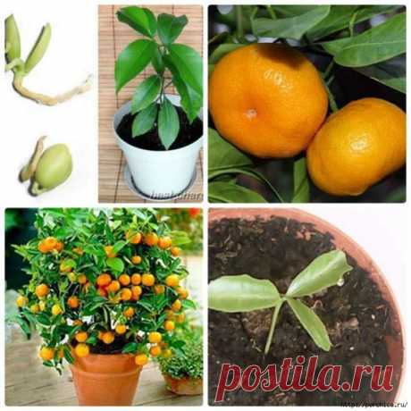 Как вырастить мандарин из косточки в домашних условиях. Источник: Как вырастить мандарин из косточки в домашних условиях .