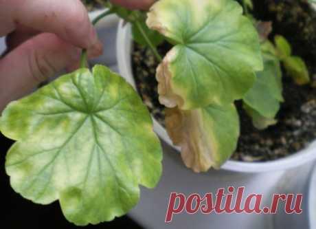 Скорая помощь для герани: что делать, если пожелтели листья   Цветочный городок