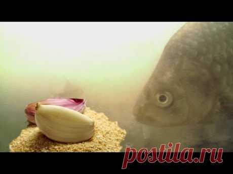 ТАК ВОТ ОТ ЧЕГО Карась ДУРЕЕТ! Пшено с чесноком! Подводная съемка