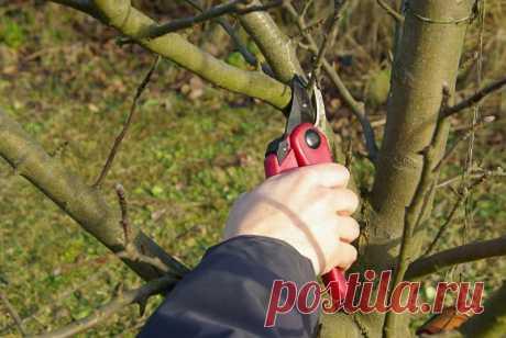 Омолаживающая обрезка яблонь осенью — Садоводка
