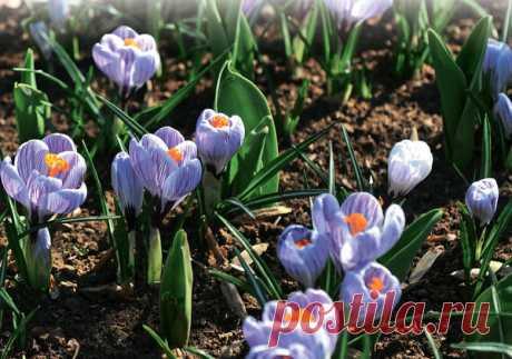 Весенние крокусы: посадка и уход в течение сезона