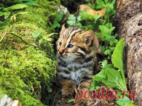 Котёнок дальневосточного лесного кота.