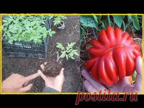 Хочешь быть с томатами делай так! Секреты крепкой рассады томатов