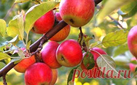 Чем подкормить яблони и груши весной? Чтобы по осени собрать богатый урожай сочных спелых яблок и груш, нужно заботиться о деревьях круглый год. Как люди и животные нуждаются в пище, так и плодовым деревьям необходима периодическая подкор...