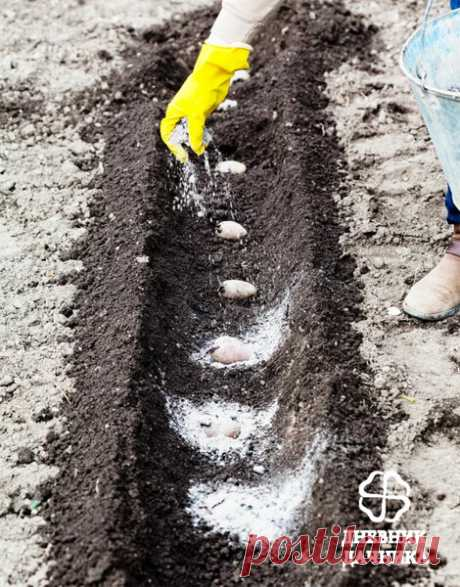 Почему нельзя удобрять золой картофель? | Блоги о даче и огороде, рецептах, красоте и правильном питании, рыбалке, ремонте и интерьере