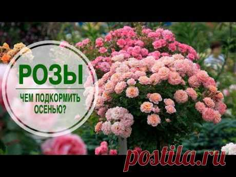 Care of roses \ud83c\udf3a Than to feed up roses in the fall? \ud83c\udf3a Useful tips of hitsadTV