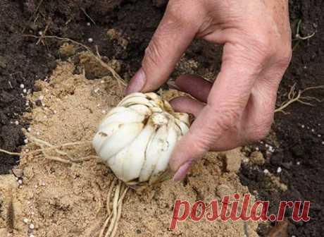 Секреты обильного цветения лилий | Другие луковичные (Огород.ru)