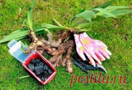 Когда и как правильно сажать ирисы в открытый грунт осенью Ирисы – это жизнестойкая, неприхотливая к условиям произрастания садовая культура, которая представлена многообразием цветов и оттенков, разновидностей. Выращивают этот многолетник практически повсеме...