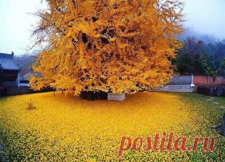 The 1400-year tree of a ginkgo turned a court yard of the Buddhist temple into the yellow ocean.