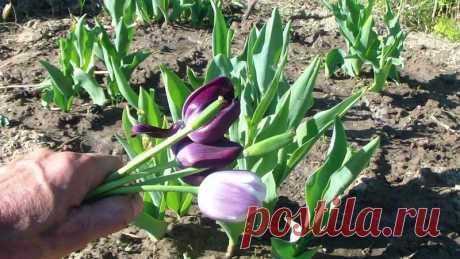 Подкормка тюльпанов после цветения.