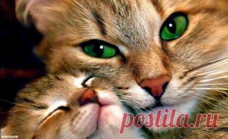 Почему кошки мурлыкают ? | ИнфоГлаз