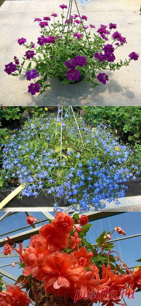 Как посадить садовые цветы в кашпо.