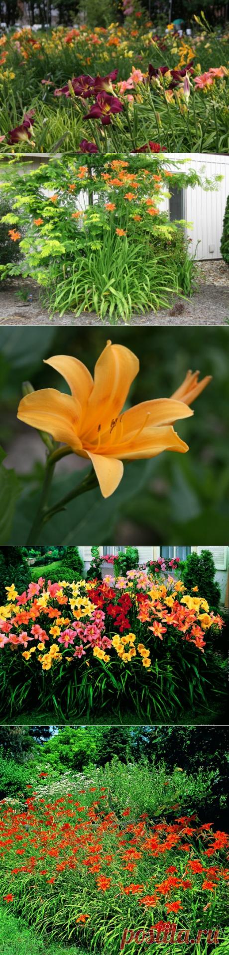Для долгого цветения лилейников — 6 соток