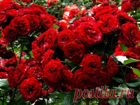 Какая подкормка нужна розам              ЛЮБИМАЯ ДАЧА                Какая подкормка нужна розам   Совсем не зря розу называют королевой цветов — яркие и ароматные бутоны поражают своей красотой и разнообразием расцветок. Но что…
