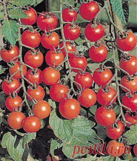 Мои любимые малышки черри, помидоры черри | Сад и огород, статьи для дачников