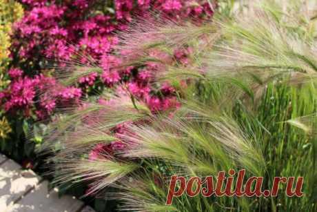 Ячмень гривастый: как вырастить и что посадить рядом