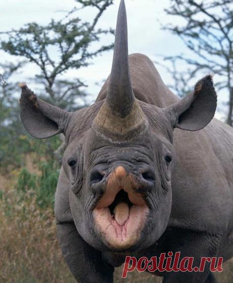 .носорог