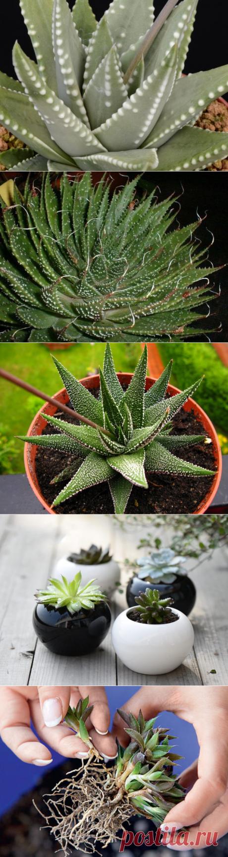 Хавортия: виды цветка, уход и размножение в домашних условиях + фото и видео