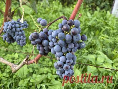 Осы больше не портят виноград, ведь я использую против них простое, но очень эффективное средство | САДОВОДУС | Яндекс Дзен