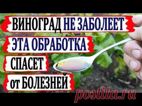 🍇 Цветение! Чтобы виноград не заболел! КОГДА и ЧЕМ провести ВТОРУЮ ОБРАБОТКУ от болезней.