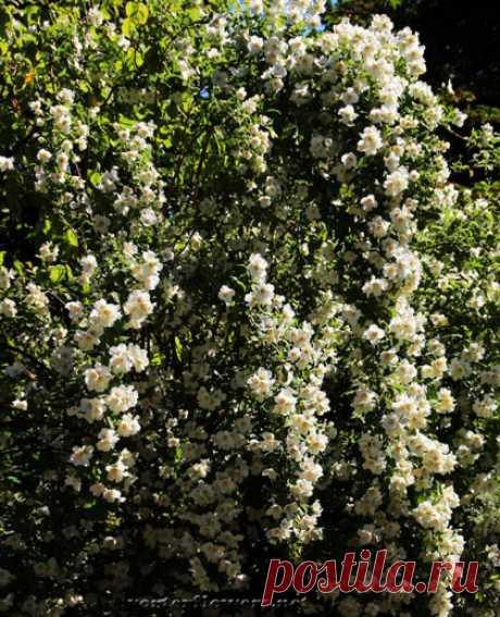 Жасмин — это царь цветов. До такой степени, что в Грасе говорили не «жасмин», а «цветок».На языке цветов белый жасмин означает: «ваш первый поцелуй взволновал меня». Еще значение — дружелюбие. Жасмин – цветок чувственности, женственности, элегантности и привлекательности.