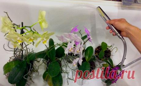 Как правильно поливать орхидею в зимний период: особенности и нюансы   Дачный труженик   Яндекс Дзен