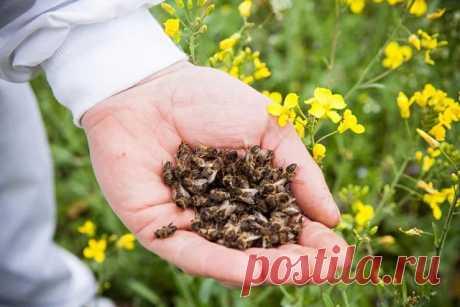 Пчелиный подмор- это полезно.