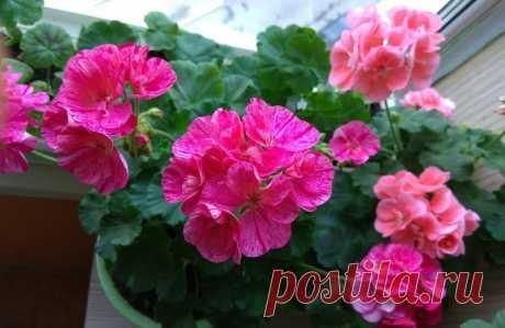 Я нашла идеальные подкормки для гераней. Теперь мои цветы цветут долго и пышно | Городские цветы | Яндекс Дзен