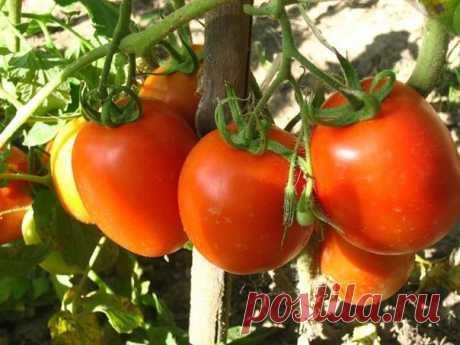 Как нельзя выращивать томаты   Ошибка №1 - ЗАГУЩЕНИЕ ПОСАДОК, особенно в теплицах.  Нормальное расстояние и в ряду, и между рядами - 60-70 см. При этом кусты всегда формируют в один стебель: все пассынки обязательно выщипываются…