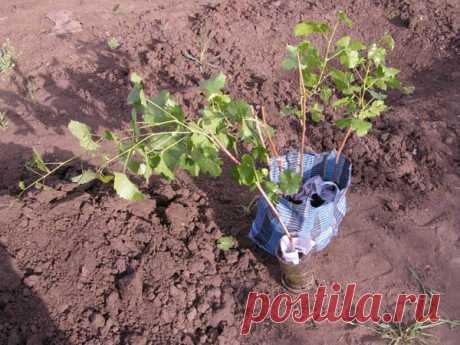 Когда и как провести осеннюю высадку винограда саженцами и черенками