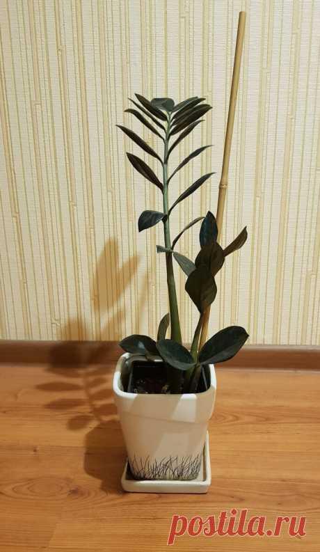 Замиокулькас или долларовое дерево. Стоит ли заводить? | Все о цветах | Яндекс Дзен
