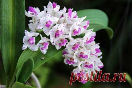 7 самых ароматных орхидей с пряным запахом. Описание, фото. — Ботаничка.ru