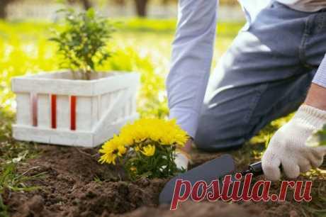 Все о посадке и выращивании хризантем | Астры, Хризантемы (Огород.ru)