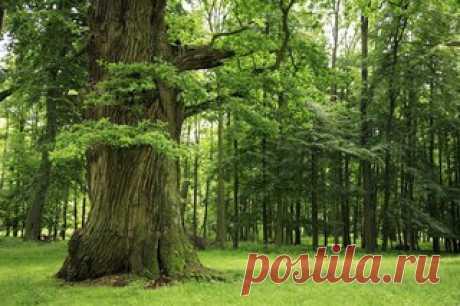 Дуб — одно из самых энергетически сильных деревьев средней полосы России. Дуб на Руси всегда считался святым деревом, связанным с мужской энергией и мощью. Дуб проводит в наш мир энергию планеты Юпитер и непосредственно связано с зодиакальным знаком Стрельца. Эти энергии определяют мировые процессы, судьбы людей и народов, позволяют людям управлять собственной судьбой. Энергия этого дерева обладает силой, способной и «мёртвого поднять». Если человек сумеет наладить контакт...