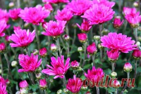 Как я размножаю хризантемы из одного маточного кустика | Дачная жизнь | Яндекс Дзен