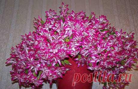 Одна чайная ложка этого средства - и ваши комнатные растения зацветут, как сумасшедшие! Если ваши комнатные цветущие растения отказываются цвести или цветут очень скудно, мелкими цветами, - это