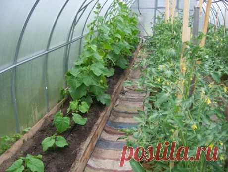 Почему огурцы и помидоры нельзя выращивать в одной теплице - ТЕПЛИЧНЫЙ ПРАКТИКУМ | Выращивание огурцов и томатов в теплице