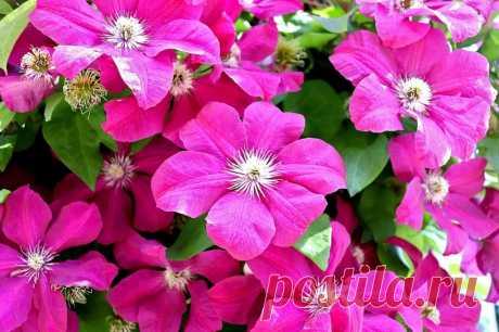 Клематис: посадка и уход в открытом грунте | 4womans.life Большинство видов и сортов клематиса являются многолетними лианами, обильно и продолжительно цветут с весны и до начала наступления холодов.