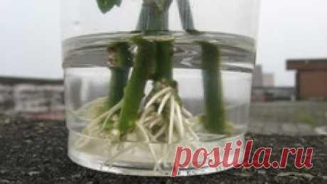 3 способа выращивания розы из букета / Асиенда.ру
