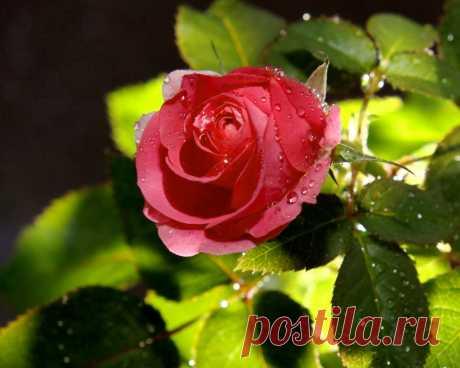 Шикарная роза скачать фото обои для рабочего стола